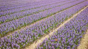 Purple hyacinth field in netherlnds. drone fly stock video footage