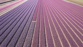 Purple hyacinth field in netherlnds. drone fly stock video