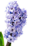 Purple hyacinth flower close-up isolated on white Stock Photos