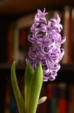 Purple hyacinth flower. In front of bookshelf Stock Image