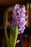 Purple hyacinth flower. In front of bookshelf stock image