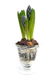 Purple Hyacinth flower in glass vase Royalty Free Stock Photography