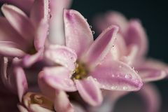 Hyacinth flower with waterdrops. Purple hyacinth flower petals with bokeh Royalty Free Stock Images