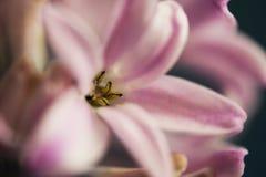 Hyacinth flower macro stock photos