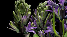 Purple hyacinth flower Time-lapse stock video