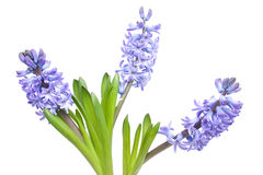 Purple Hyacinth flowers Royalty Free Stock Photo