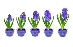Purple hyacinth flowers in different stages of growth with no background. Five stages of purple hyacinth growth with no background in blue flower pots stock image