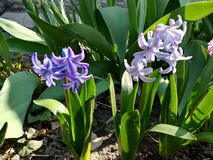 Purple hyacinth flowers in garden spring bloom. Purple hyacinth flowers in garden bloom blossom floral nature plant spring blue green petal background colorful stock photo