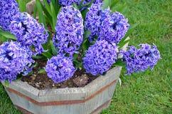 Purple hyacinth flowers planter Stock Photos