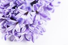 Purple hyacinth flowers Royalty Free Stock Image