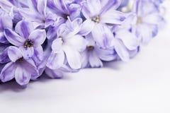Purple hyacinth flowers Stock Photo