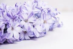 Purple hyacinth flowers Royalty Free Stock Photography
