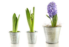 Purple hyacinth in garden pots on white Royalty Free Stock Photography