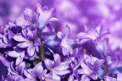 Purple Hyacinth Hyacinthus Orientalis