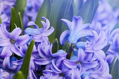Purple hyacinth hyacinthus orientalis Royalty Free Stock Image