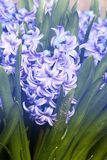 Purple hyacinth hyacinthus orientalis Stock Photo