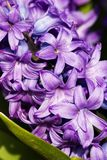 Purple hyacinth hyacinthus orientalis Stock Photography