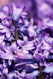 Purple hyacinth hyacinthus orientalis Stock Images