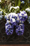 Purple hyacinth lightly covered with snow. In a planter bed Stock Photography