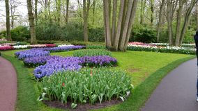 Purple Hyacinth, narcissus and late red Tulips Keukenhof Netherlands Stock Image