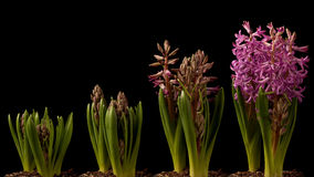 Purple Hyacinth Time-lapse Royalty Free Stock Photography