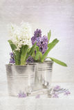 Purple hyacinth with a vintage look Stock Photography