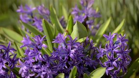 Purple hyacinth stock video footage