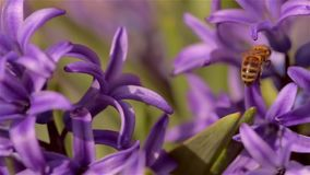 Purple hyacinth stock footage