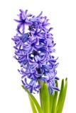 Purple Hyacinth Stock Photos