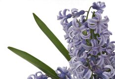 Purple hyacinth on white backgrounds. Flowers of hyacinth on white background. Big group of flowers as frame stock images