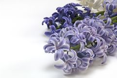 Purple hyacinth on white backgrounds. Purple hyacinth on white background. Big group of flowers stock images