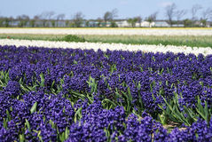 Purple hyacinths. Purple and white hyacinths on a field Stock Images