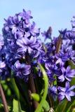 Purple Hyacinths Stock Photos
