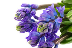 Purple Hyacinths Royalty Free Stock Photography