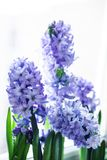 Purple hyacinths Stock Images