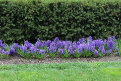 Purple hyacinths Royalty Free Stock Photo