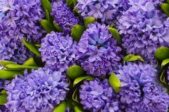 Purple hyacinths created from the birds perspective. With green leafs. Spring symbol Stock Photo