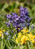 Purple hyacinths at Eastcote House Gardens in the Borough of Hillingdon, London, UK.