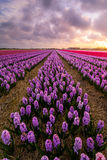 Purple Hyacinths. A field of purple hyacinth flowers in the evening Stock Image