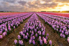 Purple Hyacinths. A field of purlpe hyacinth flowers in the evening Stock Photo