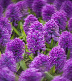 Purple hyacinths Stock Photography