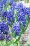 Purple hyacinths Royalty Free Stock Photos