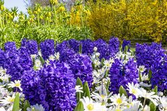 This purple hyacinths are in great contrast with the white glory-of-the-snow, yellow Fritillaria imperialis and the yellow forsyth. Ia royalty free stock photo