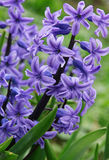 Purple hyacinths (hyacinthus) is one of the first beautiful spri Stock Photos
