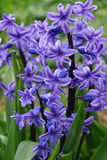 Purple hyacinths (hyacinthus) is one of the first beautiful spri Stock Image