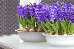 Purple hyacinths. Photo of purple hyacinths on a glass table in springtime Stock Images