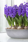 Purple hyacinths Stock Image
