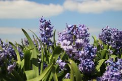 Purple Hyacinths in rows on flower bulb field in Noordwijkerhout in the Netherlands. Purple Hyacinths in rows on flower bulb field in Noordwijkerhout in the stock images