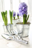 Purple hyacinths on table with sun-filled windows Royalty Free Stock Photos