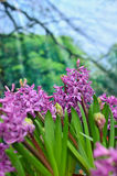 Purple hyacinthus Stock Images